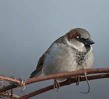 Sparrow on Vine by (Tallow) Dave  Van de Laar
