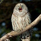 Barred Owl by Wayne Wood