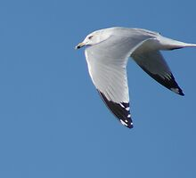Ring Billed Gull by TxGimGim