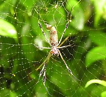 Giant Spider-Costa Rica by alexisjmichel