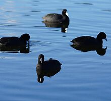 Eurasian Coots by Deborah McGrath