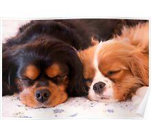 Sleeping Buddies Cavalier King Charles Spaniels Poster