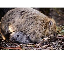 Wombats Photographic Print