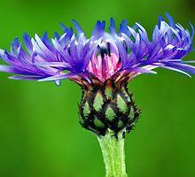 pastel bloom by Rodney55