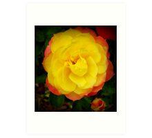 Mini rose in two tone Spring 2009 Art Print