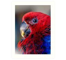 Ruffled Up - eclectus parrot Art Print