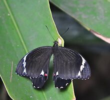 Papilio aegeus (Orchard Swallowtail) Male by Geoff Beck