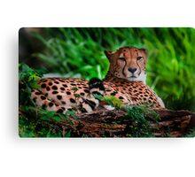 Resting Cheetah - Outdoor Wildlife Photography Art  Canvas Print