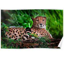 Resting Cheetah - Outdoor Wildlife Photography Art  Poster