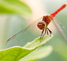 Red Dragonfly by MadDog7
