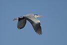 Great Grey Heron  by David Clark