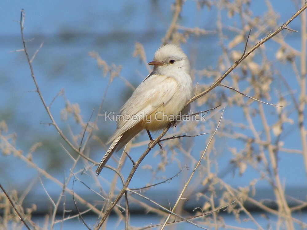 Vermilion Flycatcher (Leucistic) ~ Rare by Kimberly Chadwick
