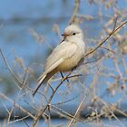Vermilion Flycatcher (Leucistic) ~ Rare by Kimberly P-Chadwick