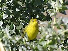 Yellow Warbler by Kimberly Chadwick