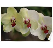 Orchid White Trio Poster