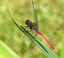 WINDBLOWN DRAGONFLY by Ekascam