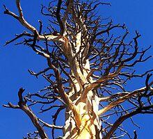 Charo Tree by John Bibb