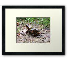 Box turtle Framed Print