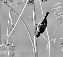 Reed Warbler by NaturesEarth