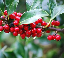 Red, Red Berries of the Holly Tree by Carol Clifford