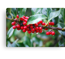 Red, Red Berries of the Holly Tree Canvas Print