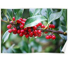 Red, Red Berries of the Holly Tree Poster