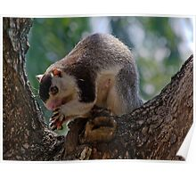 Rock Squirrel, Habarana, Sri Lanka Poster