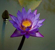 Blue Lotus flower in pond by Rajeev Costa