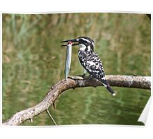 Pied Kingfisher with fish, Sri Lanka Poster