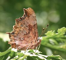 Comma Butterfly by Gill Langridge