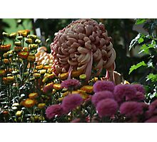 Chrysanthemum Garden Photographic Print