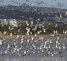 Oystercatchers Flocking, Swansea Bay by Andy Leslie