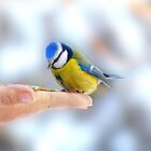 Feeding Blue tit (Cyanistes caeruleus) by hand. by Swell Photography