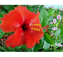 My Front Yard Hibiscus Photographic Print