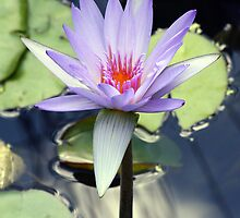 Brisbane Waterlilly by nymphalid