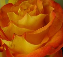 rose flames of passion by Pam Utton