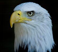 Bald Eagle 3 by laurav