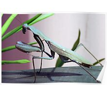 Large Praying Mantis in profile Poster