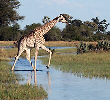 Giraffe walking in the Okavango delta by nymphalid