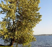 Leaning Lake Washington Tree by Tamara  Bailey
