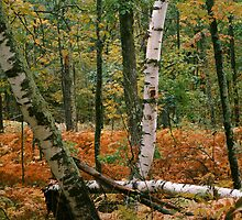 Birch trees,birch,wood,forest,Minnesota,Itasca State Park, by Cushman