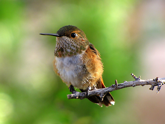 Rufous Hummingbird ~ Female by Kimberly Chadwick
