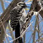 Ladder-backed Woodpecker ~ Female by Kimberly P-Chadwick