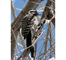Ladder-backed Woodpecker ~ Female Photographic Print