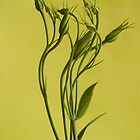 Lisianthus Buds by Beata Bernina