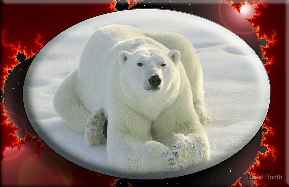 December Polar Bear by David Booth