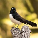 Proud Willy Wagtail by Sandra Chung