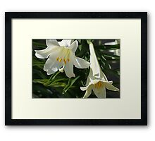 Trumpet Lily / Easter Lily Framed Print