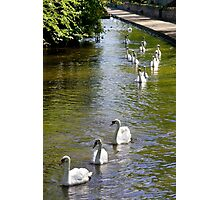 Swans on Parade Photographic Print