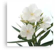 White Oleander Flowers Close Up Isolated On White Background  Canvas Print